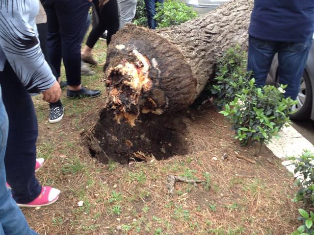 albero caduto rutigliano 4
