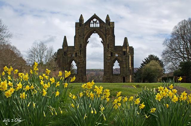 Guisborough Priory Daffs