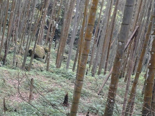 竹筍殼新生的摸起來像摸鹿茸 (3)