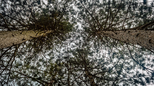 trees sky pinetree spring view april 2016 varbovchets