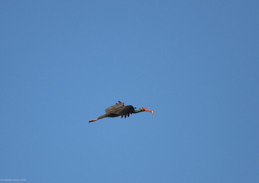 black stork with frog 0