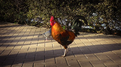 Rooster strutting