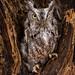 Owl in Tree. by rmikulec