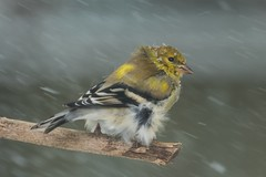 American Goldfinch (spinus tristis) | Lexington, KY | FEATURED