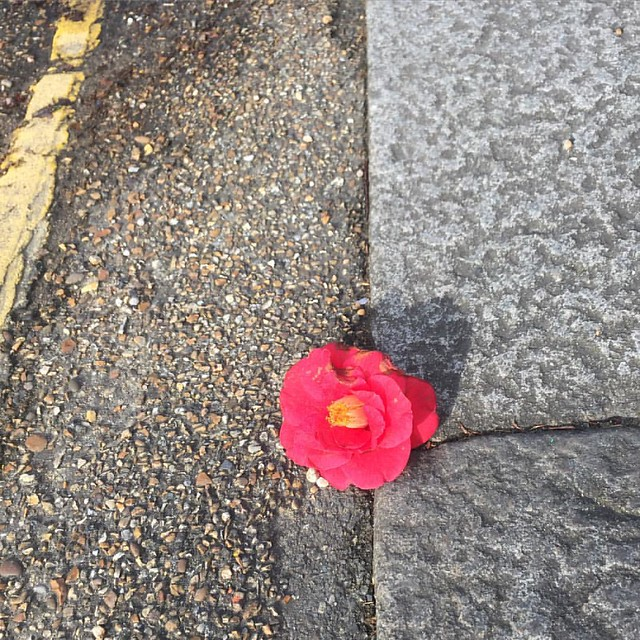 Camellia in the gutter. A casualty of yesterday's storm, a sign of spring.