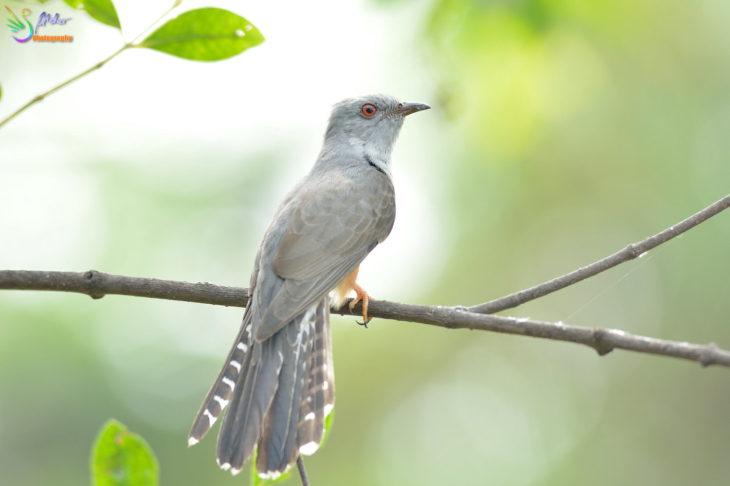 Plaintive_Cuckoo_1680