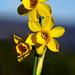 Narcissus fernandesii Gomes Pedro - AMARYLLIDACEAE - Parque Natural Sierra de Andújar (Jaén) (6) by Joaquín Ramírez