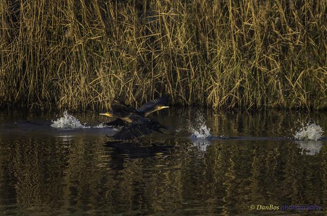 Cormorants (Phalacrocorax carbo) crossing ways