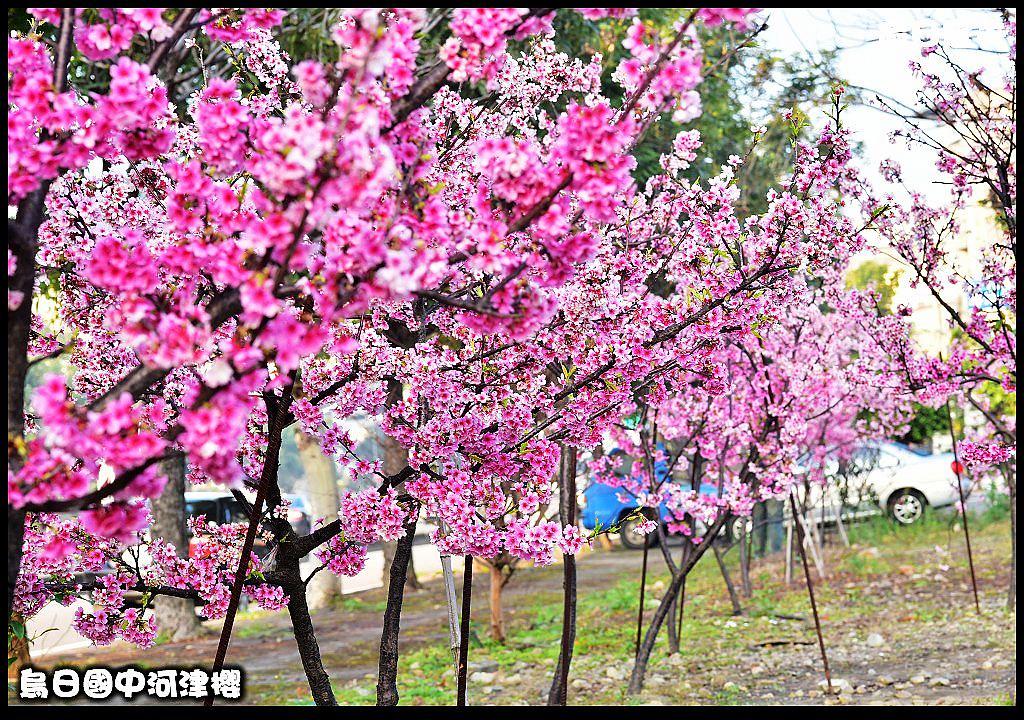烏日國中河津櫻DSC_0012