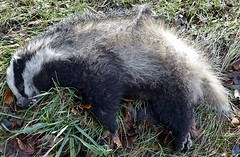 Badgers are protected - up to a point