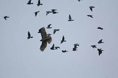 Red-tailed Hawk vs. pigeons