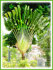 A profile of Ravenala madagascariensis (Traveller's Palm, Traveller's Tree) seen in the neighbourhood, Feb 4 2016