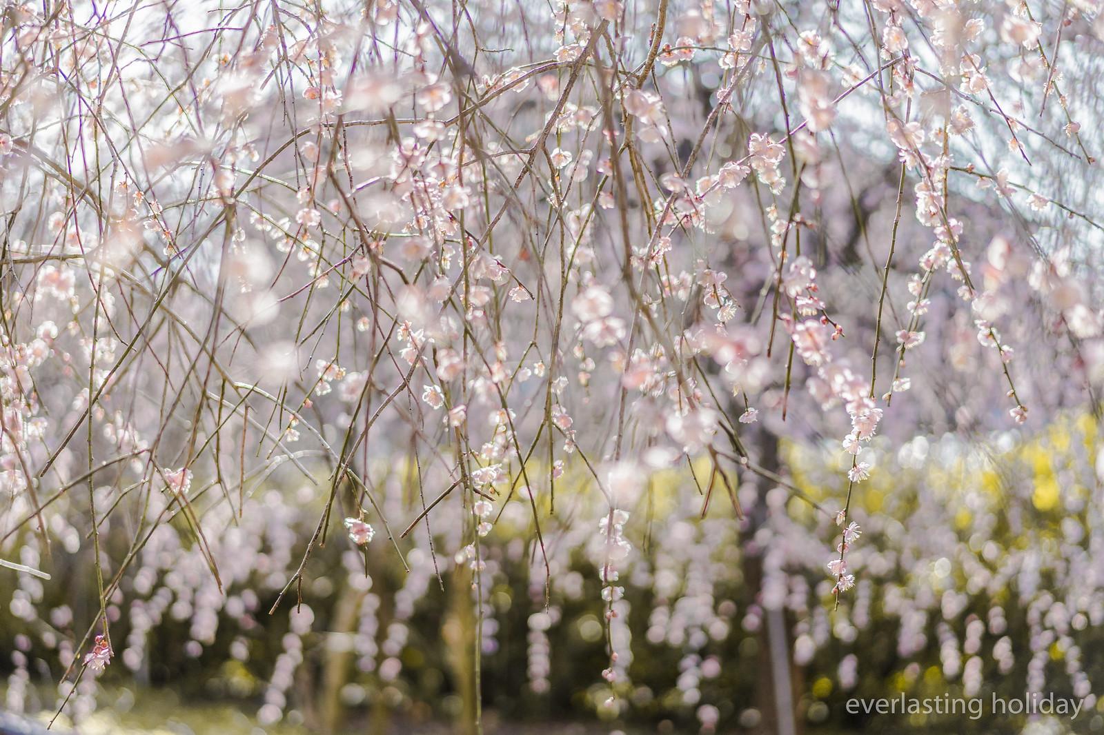 梅か桜か 1