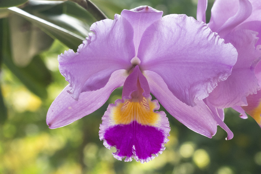 Cattleya Trianae The National Flower Of Colombia Photo Ta Flickr