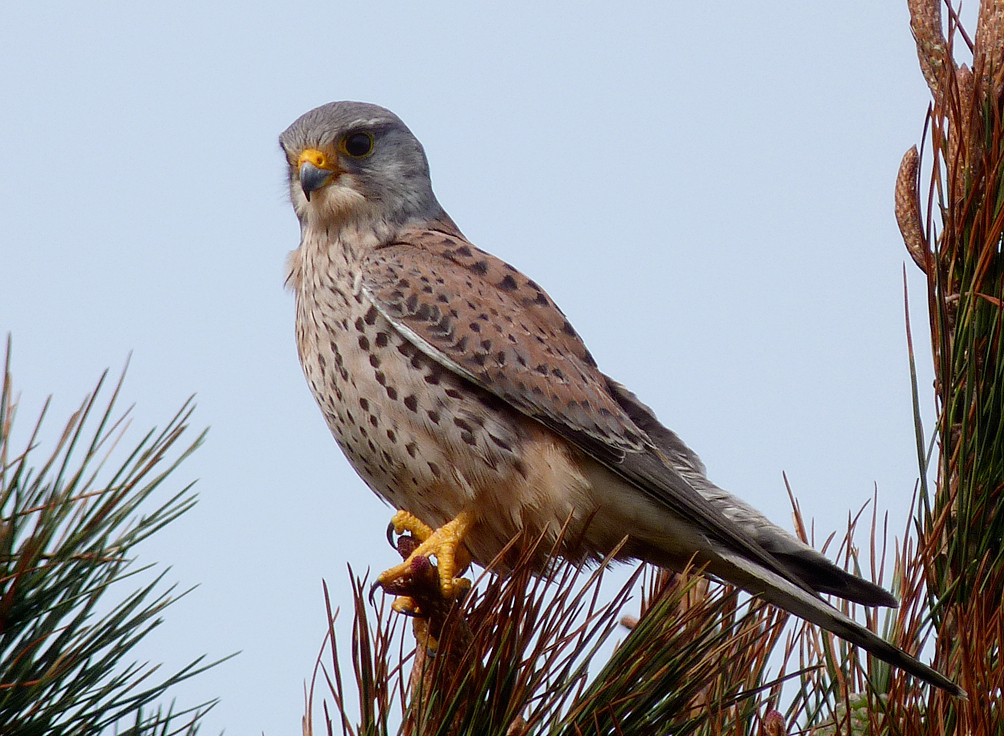 Kestrel FtHom 30Mar16 b