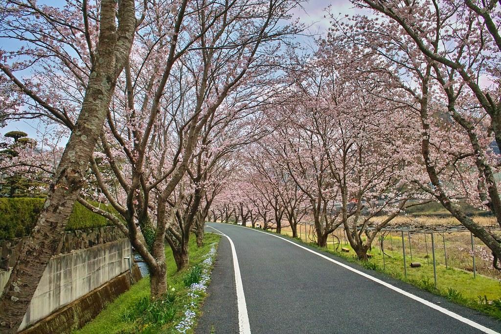 小田川土手の桜