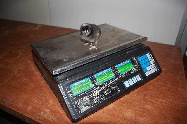 Weighing chick