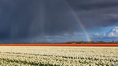 Tulips, rain and rainbow