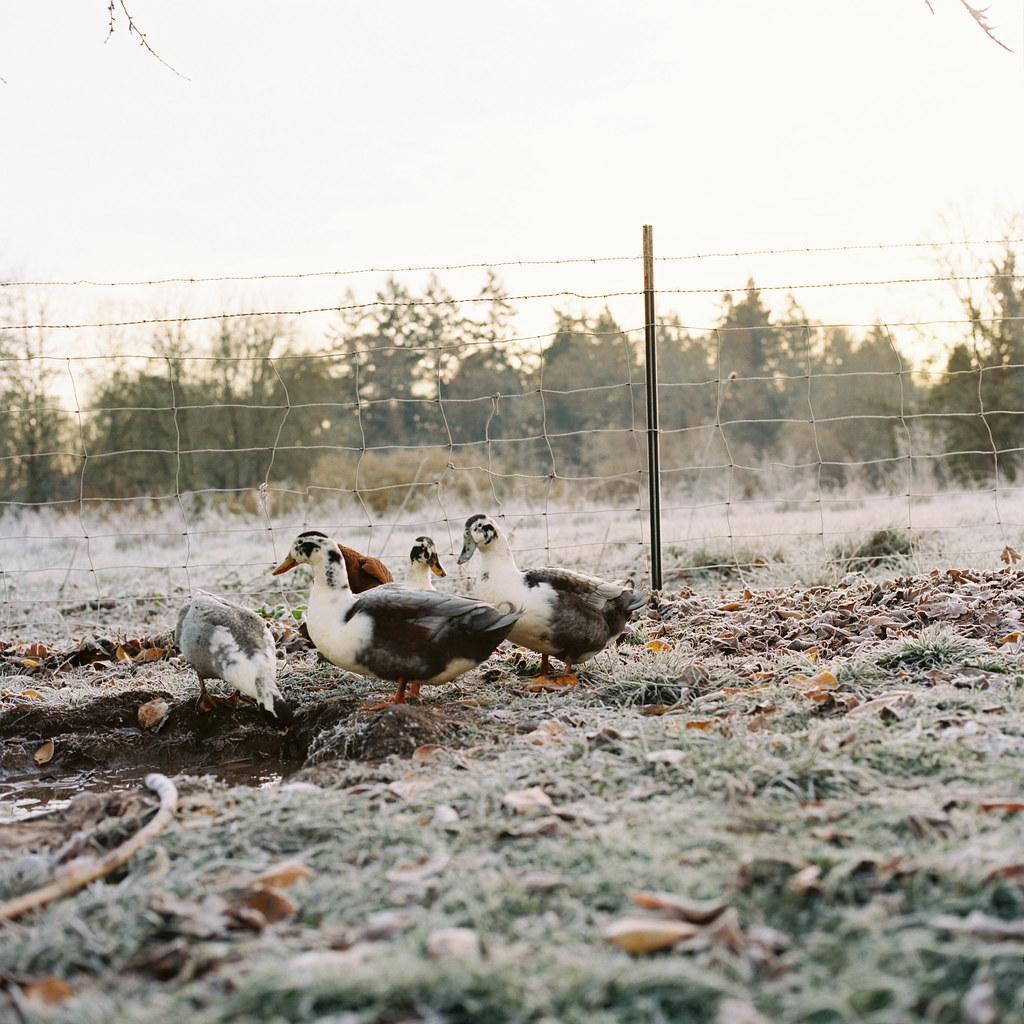 frosty ducks.