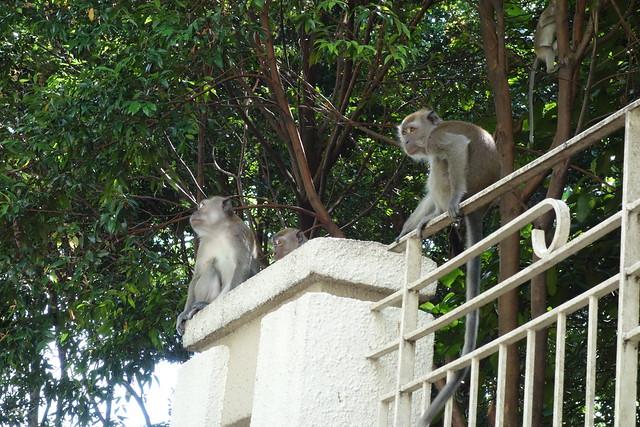 マレーシアのサル