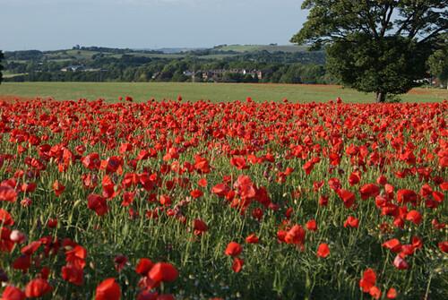 Poppy Field 8