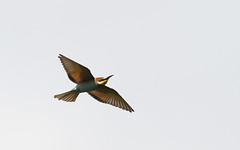Bee-eater_Cl+mentRollant