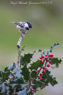 coal tit on holly