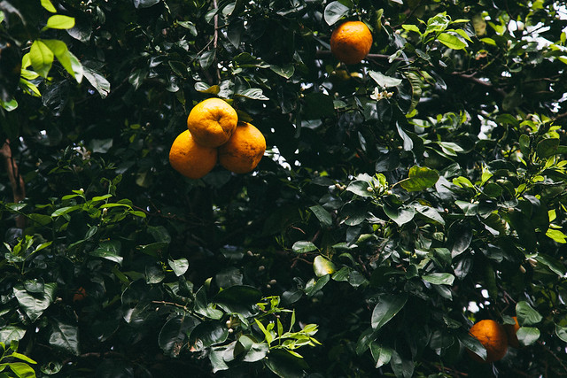 Citrus trees all over the place