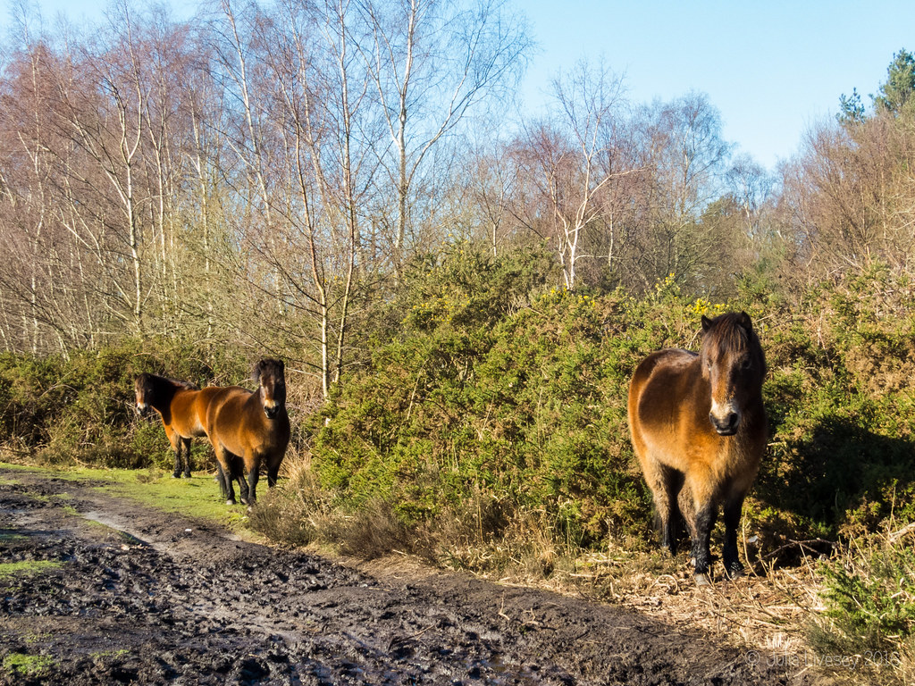 The Exmoor Ponies were staying out of the mud