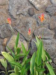 starr-070302-4945-Heliconia_psittacorum-flowering_habit-Pukalani-Maui