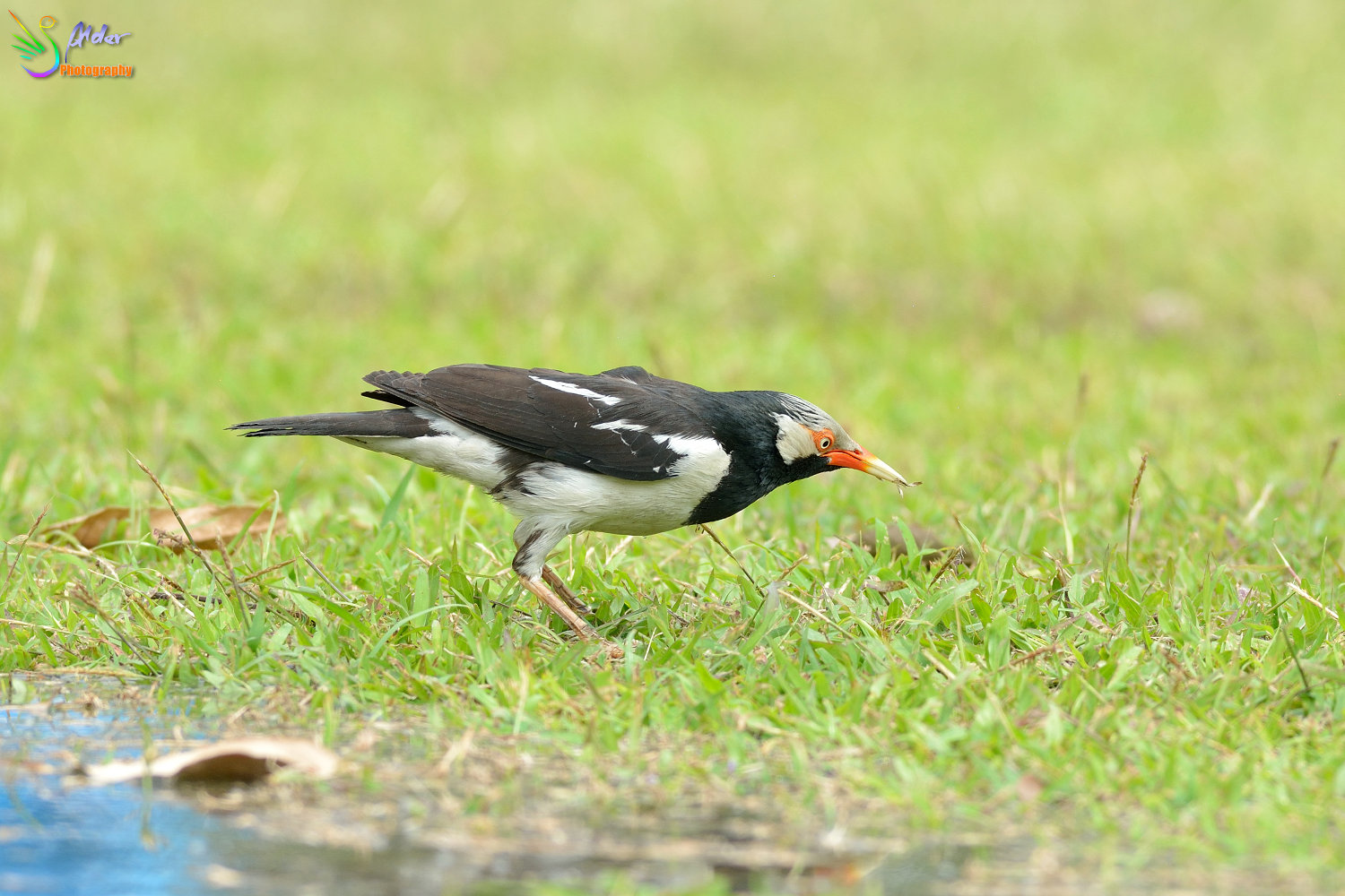 Asian_Pied_Starling_1497