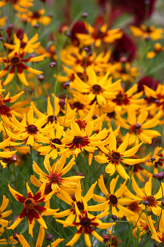Coreopsis tiger stripes