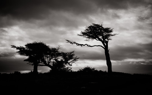 Wind-Swept Trees