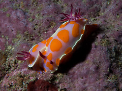 Clown nudibranch (Ceratosoma amoena)