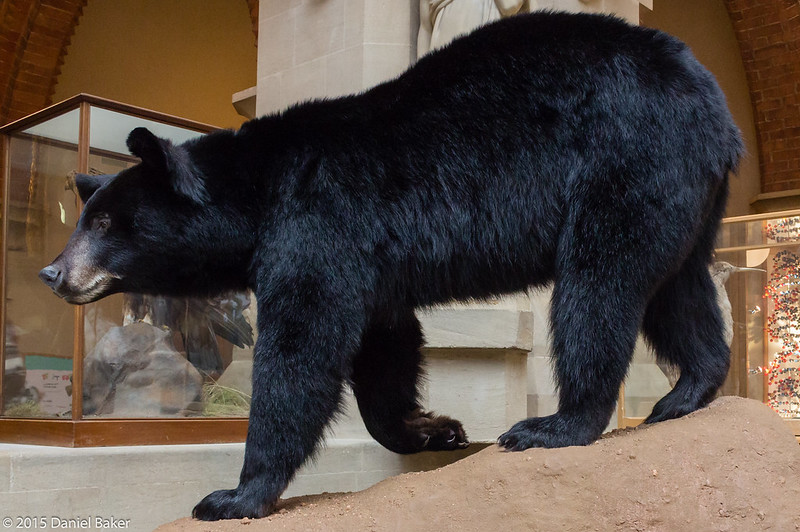 Stuffed Black Bear at the Oxford University Museum of Natural History