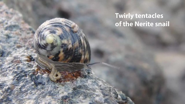Nerite snails can really twirl their tentacles