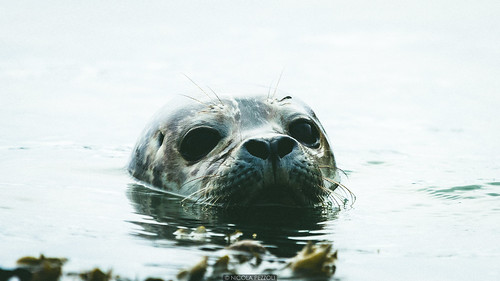 ocean road trip travel sea summer baby reflection beach nature water look animal iceland big eyes seal ísland icelandic hofn stokksnes