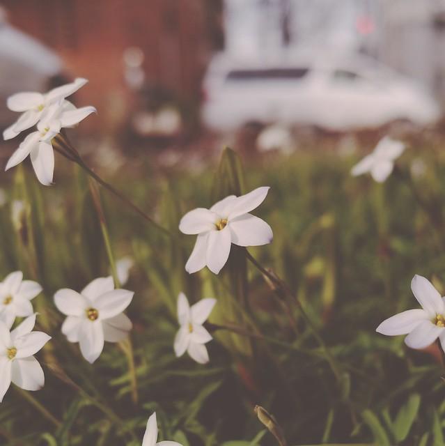 Spring star flowers