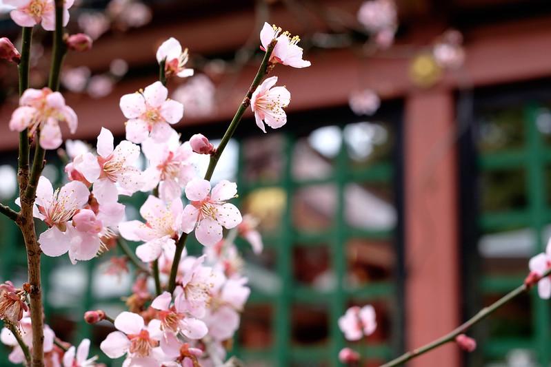塩竈神社の梅