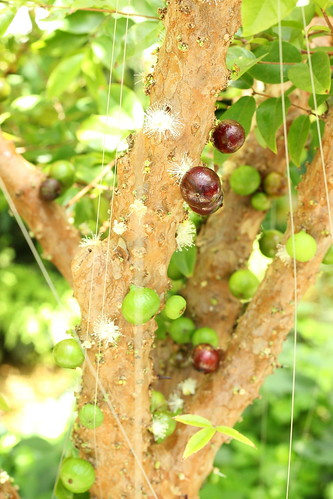 Myrciana cauliflora