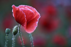 Red Poppy Family