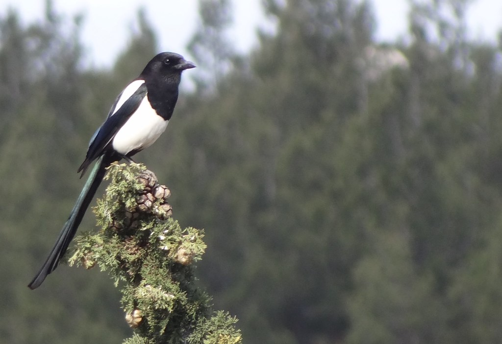 common magpie France