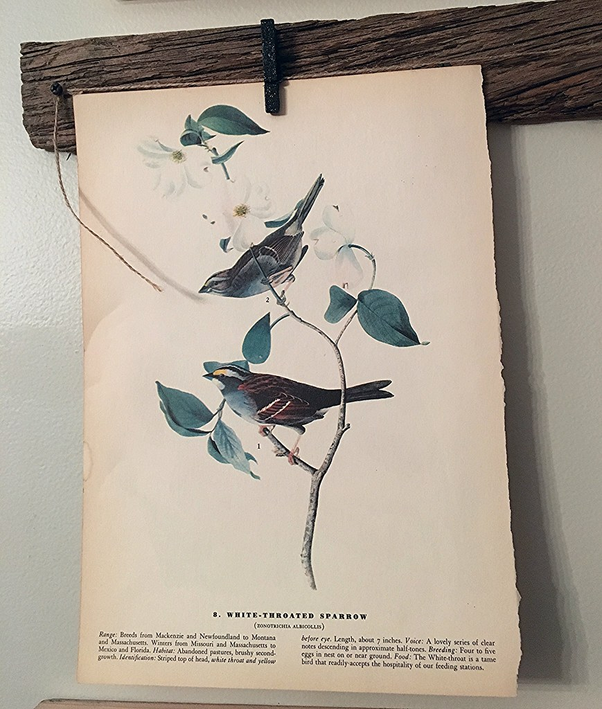 Vintage White Throated Sparrow Print