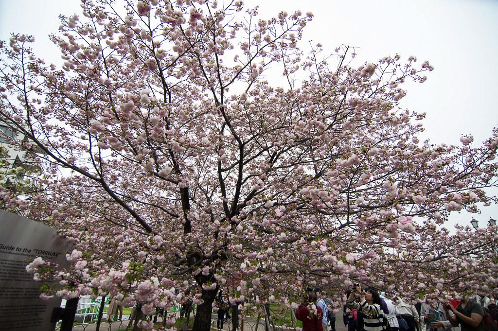 京阪四月櫻花戀
