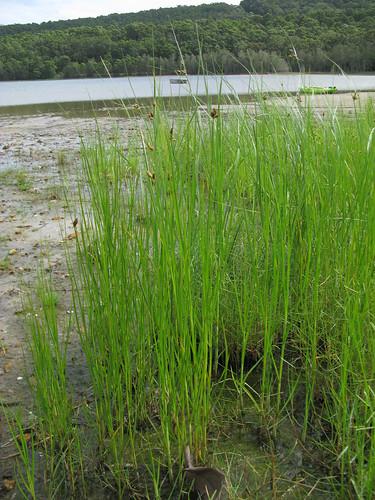 Bolboschoenus caldwellii habit1