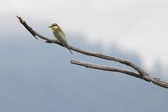 Bee-eater_AlbertdeJong