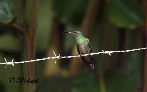 scalybreastedhummingbird birdofcostarica colibridecuvier haeochroacuvierii