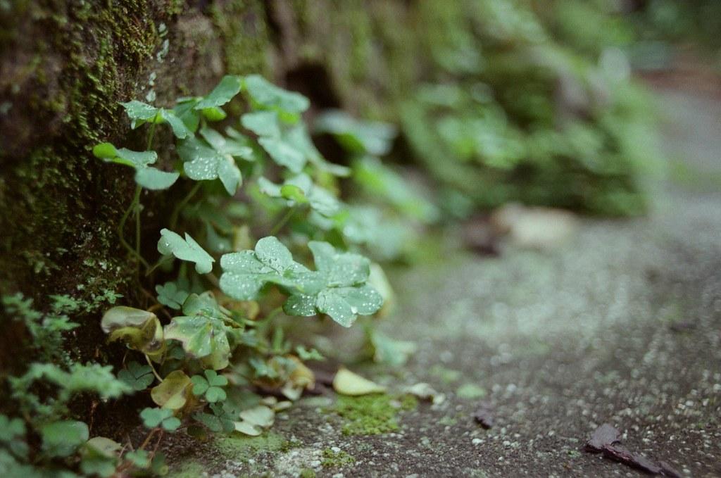 九份 / Fujifilm 500D 8592 / Nikon FM2 我整個人趴在地上拍地面上冒出來的植物,我記得應該是光圈全開。  Nikon FM2 Nikon AI AF Nikkor 35mm F/2D Fujifilm 500D 8592 4753-0024 2015/11/14 Photo by Toomore