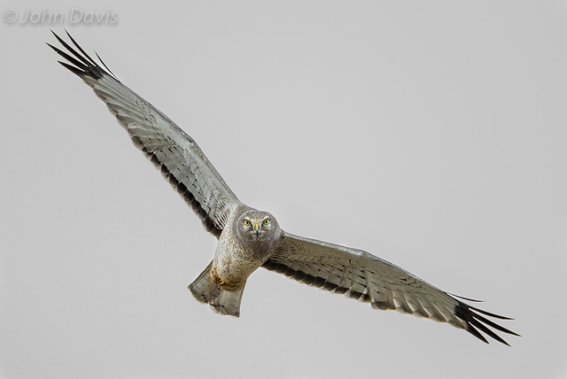 Northern Harrier 20160109_7167