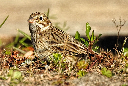 Savannah: Vesper Sparrow